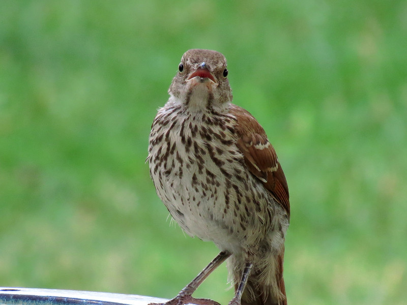 A head-on view of the Brown thrasher.