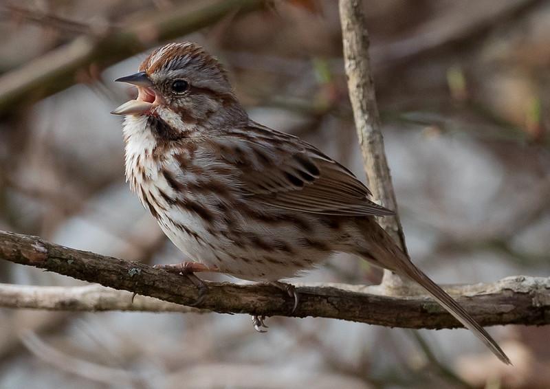 Savanah(?) Sparrow