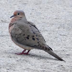 P146ZenaidaMacrouraMDove005 May 7, 2015  6:58 a.m.  P1460005 This Mourning Dove, Zenaida macroura, was in the parking lot at LBJ WC.