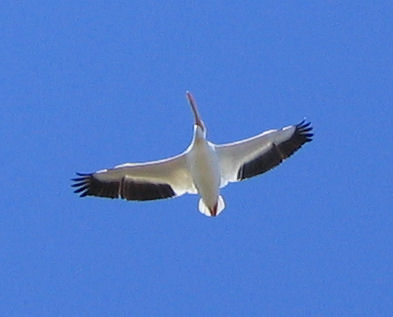 An American white pelican (Pelecanus erythrorhynchos) flying overhead (174_7401)