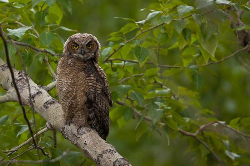 Great Horned Owl, McKay Reservoir, Oregon