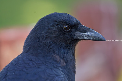 american crow close up