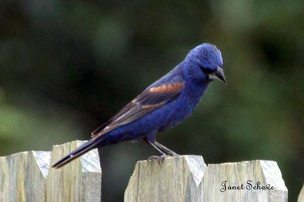 IMAGE: http://jschove.smugmug.com/Nature/Birds/i-r8bXZMV/0/L/Blue%20Grosbeak_8298-L.jpg