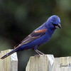 Blue Grosbeak - male