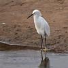 Snowy Egret at Bolsa Chica Reserve - 4 Sept 2010