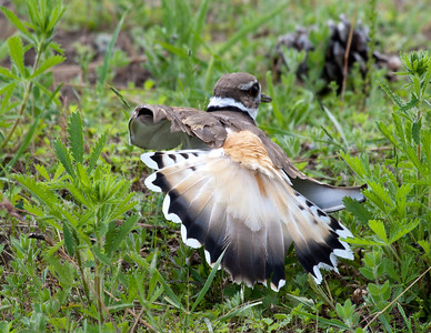 Killdeer and EggsEMW_9207