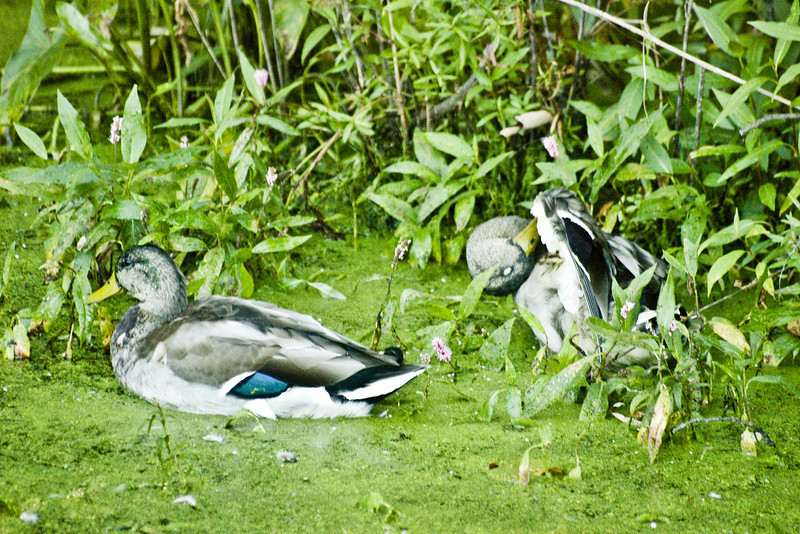 Mallard Couple-Mill Pond