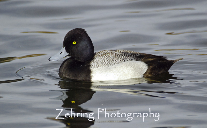 With distinctive yellow eyes, this male lesser scaup is perhaps the most abundant of the diving ducks in Northern America.