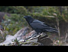 Common Raven - Long Beach - Pacific Rim National Park.