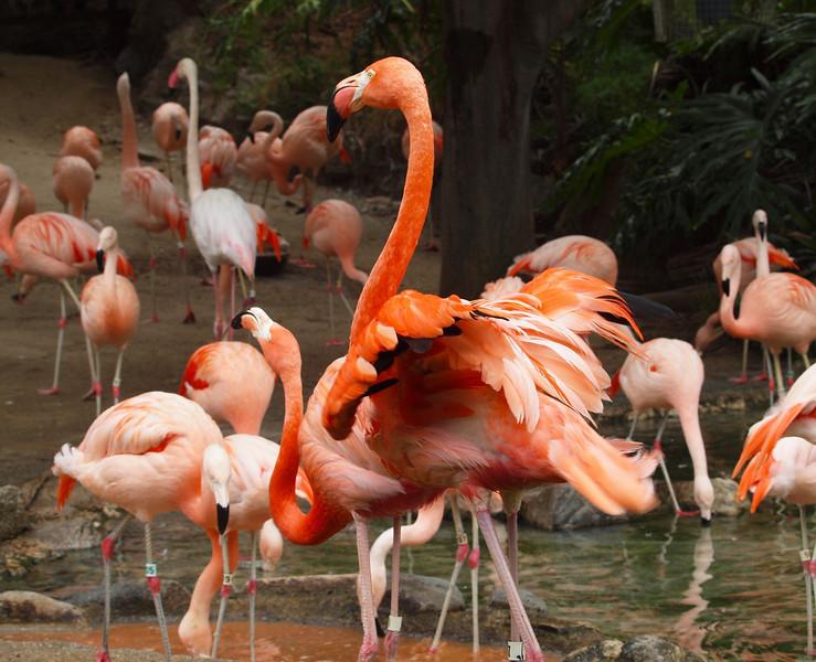 American Flamingos at LA Zoo - 5 July 2010