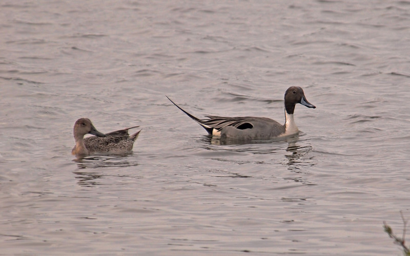 Northern Pintails at Bolsa Chica Reserve - 19 Mar 2011