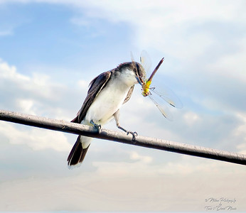 Eastern Kingbird with Dragonfly
