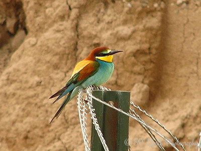 European Bee Eater Kirkuk, Iraq