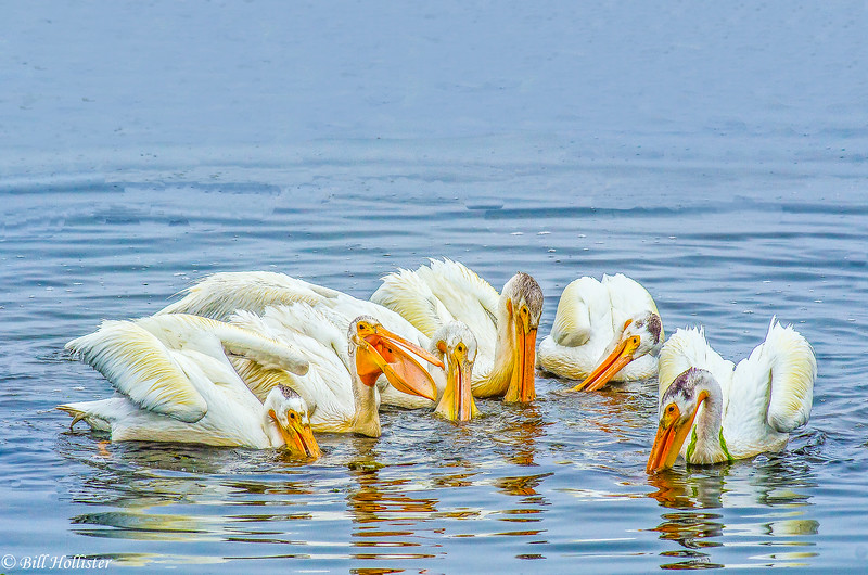 White Pelicans at Bodega Bay 6-1-14 #14