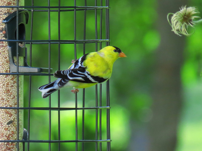 Yellow finch on one of the bird feeders.