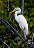 Great Egret<br /> (Ardea alba)