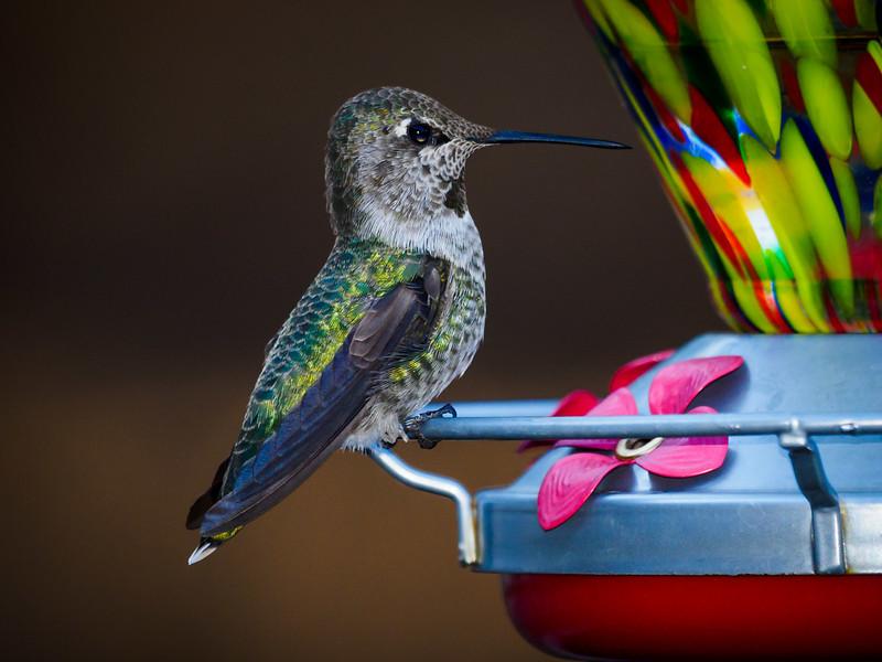 Hummgingbird - 2 Sept 2019