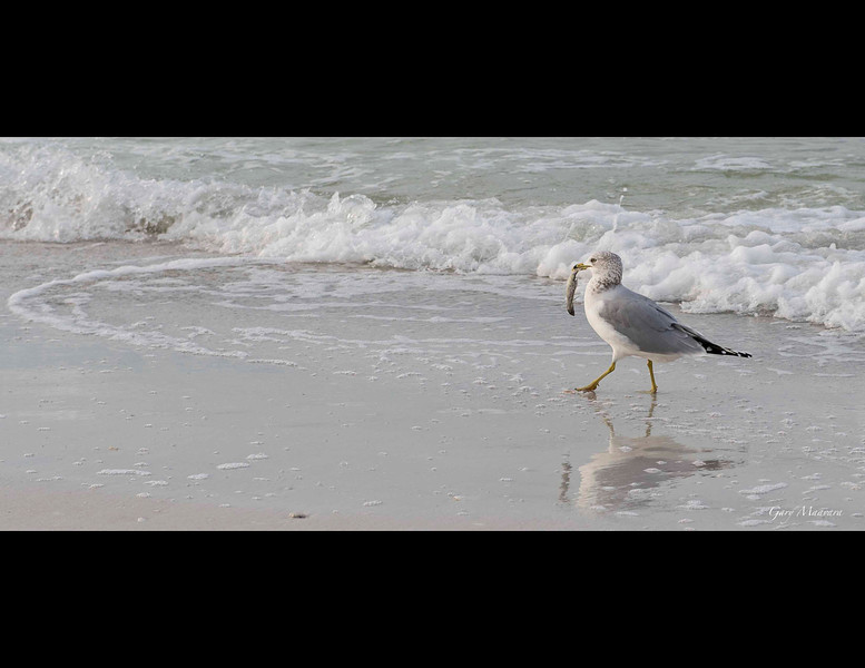 Herring gull with breakfast.  Lido Key, Florida