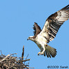 Osprey coming in for a landing at the nest<br /> Occoquan National Wildlife Refuge, Virginia<br /> May 2009