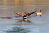 Canadian geese,