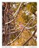 Pine GrosbeaK - a rare sight in this area.