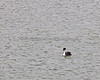 Not the greatest of photos, but the babies sure are cute sitting on her back!  (Western Grebe at Lake Merced, in San Francisco)