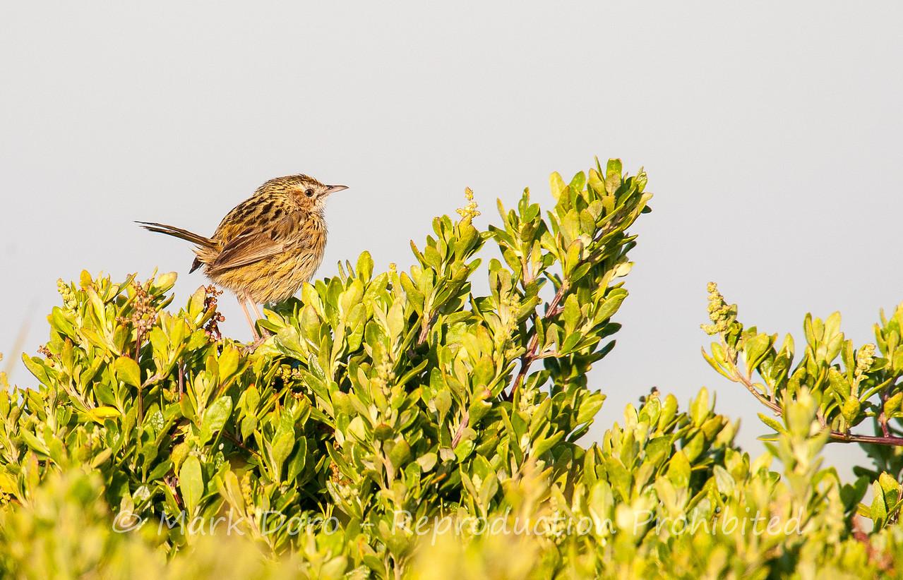 Striated Fieldwren (juv), Werribee, Victoria