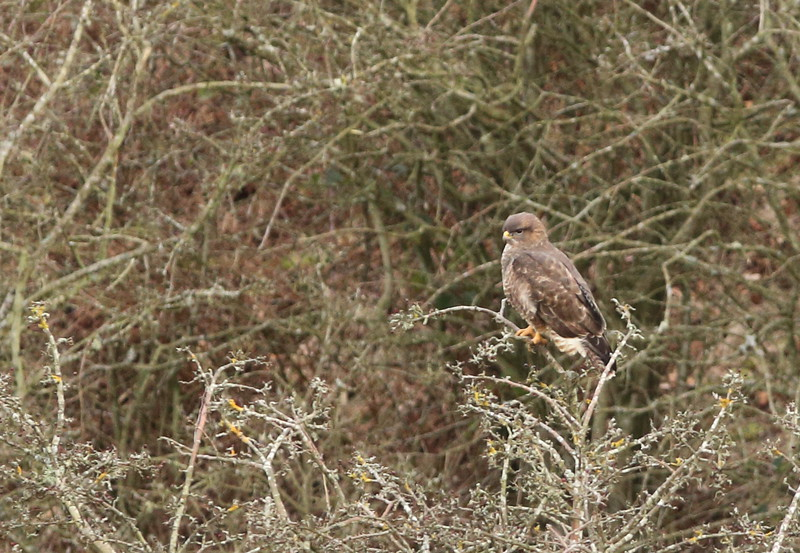 Buzzard by Dad