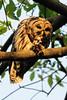 Barred owl parent with dinner<br /> Fairfax County, Virginia