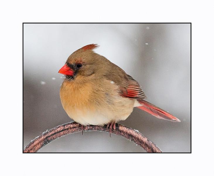 Northern Cardinal<br /> (Cardinalis cardinalis) Female