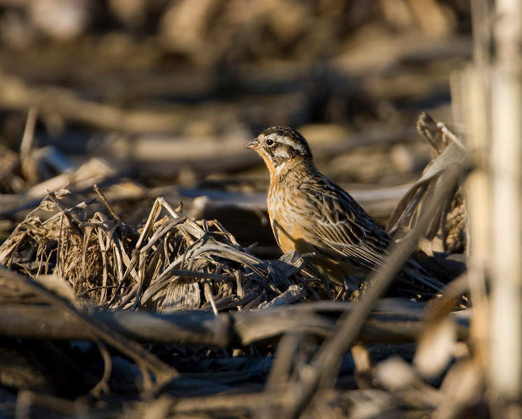 Smith's Longspur - Rockford, Ohio - April 2009<br /> Another great rare bird for Ohio!  There were about 20 mixed in with Horned Larks and Lapland Longspurs.  Somehow these were blown off course on their migration to the northern most parts of Canada.