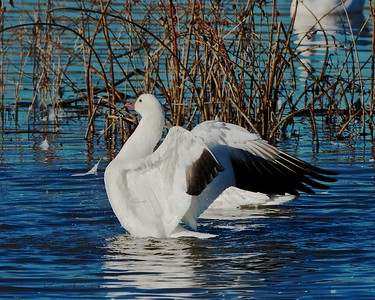 Ross' Goose Stretching