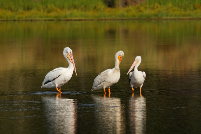 American White Pelicans, St. Marks NWR, Florida