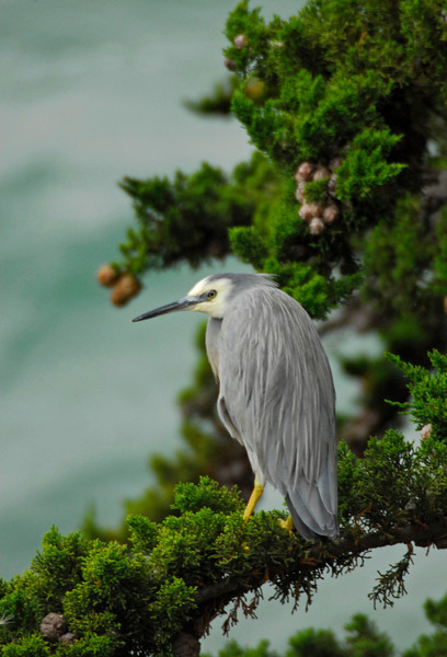 White-faced Heron - Hoopers Inlet, Otago Peninsula, New Zealand