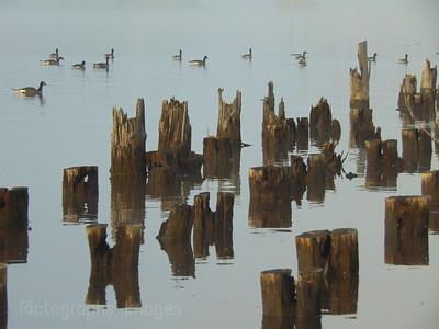 Birds On The Kaministiquia River, Thunder Bay, Ontario, Canada