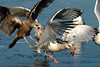 Fish stealing, gull style<br /> Potomac River<br /> Fairfax County, Virginia<br /> January 2009