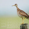 Upland Sandpiper, Delta Junction Alaska, 2007.