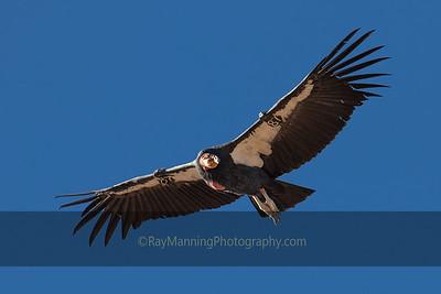 Condor 87