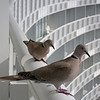 European collared doves