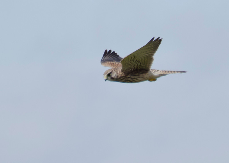 Kestrel in flight at Mount Tabour, Halifax. Photograph by Christian Wilkinson.