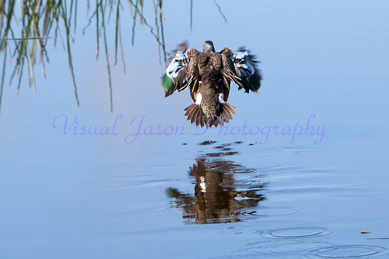 teal taking off