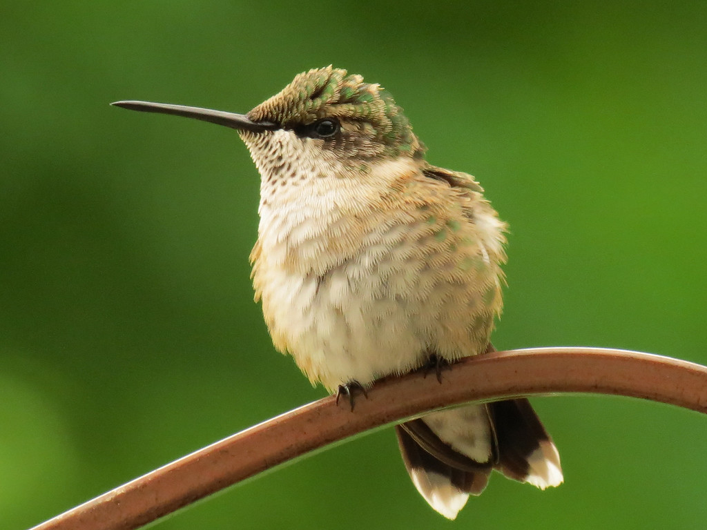 While yesterday was hot and windy, today was<br /> cold, rainy and windy. The little hummingbirds had<br /> to fluff up their feathers to keep warm.