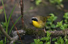 Common Yellowthroat - May 2007