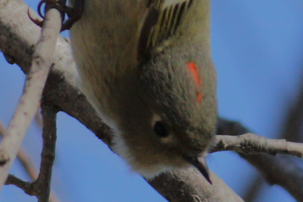 A close-up of the red stripe on the head of a ruby-crowned kinglet (Regulus calendula) (2009_02_03_006375_c)