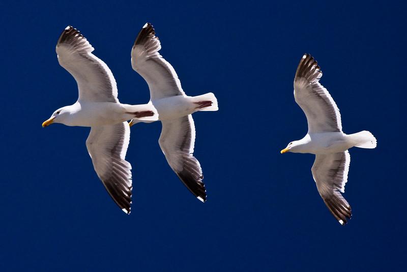 Seagulls, Oregon Coast