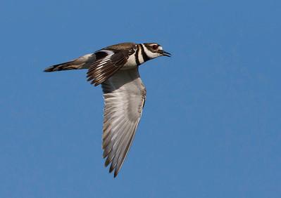 Killdeer Fly-by
