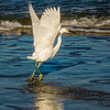 Snowy Egret Actively Fishing