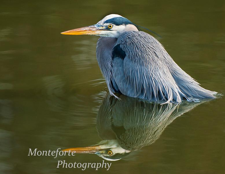 Great Blue Heron - Ardea heordias - bathing at Lagunita La Mirada