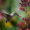 Hummingbird with Agastache