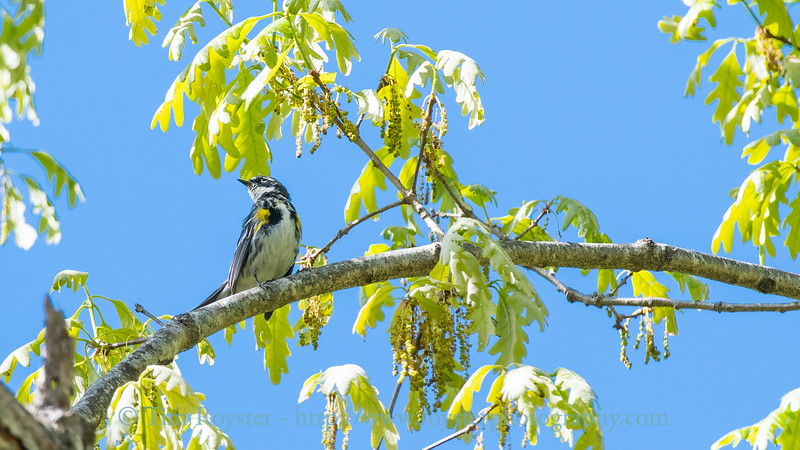 Yellow-rumped warbler in a white oak tree in the Spring